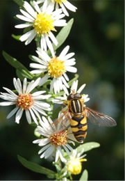 bee mimic syrphid fly