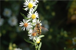 syrphid fly bee mimic