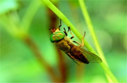 Diachlorus ferrugatus - Yellow Fly of the Dismal Swamp