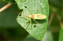 Zelus luridus - Assassin Bug