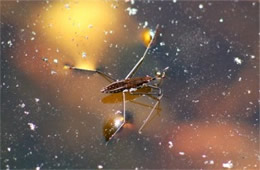 Gerris - Water Strider