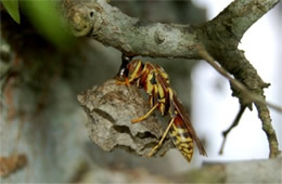 paper wasp and nest