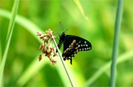 Papilio polyxenes - Black Swallowtail Butterfly