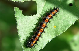 Chlosyne lacinia - Bordered Patch Caterpillar