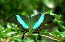 Green Swallowtail Butterfly