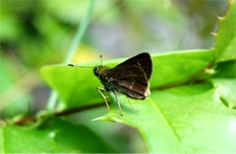lacewing skipper butterfly