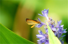 Ancyloxypha numitor - Least Skipper