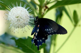 Battus philenor - Pipevine Swallowtail