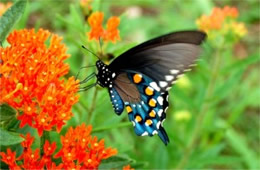 Battus philenor - Pipevine Swallowtail Butterfly