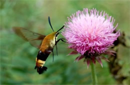 Hemaris diffinis - Snowberry Clearwing Moth