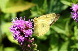 Colias philodice - Clouded Sulphur Butterfly