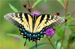 Papilio glaucus - Eastern Tiger Swallowtail