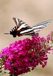 Eurytides marcellus - Zebra Swallowtail Butterfly