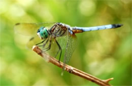 Pachydiplax longipennis - Blue Dasher Dragonfly