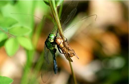 dragonfly eating prey