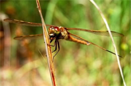 Libellula auripennis - Golden-winged Skimmer Dragonfly