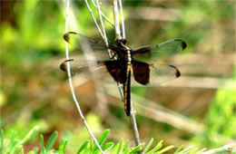 Libellula luctuosa - Widow Skimmer Dragonfly