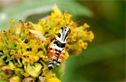 Aidemona azteca - Aztec Spur-throat Grasshopper