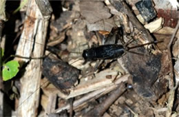 Gryllus pennsylvanicus - Fall Field Cricket