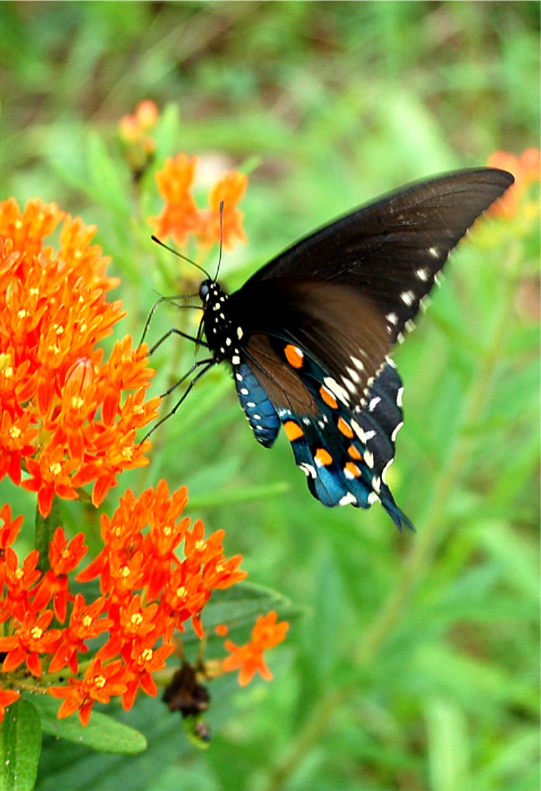 Swallowtail butterfly photo Pipevine Swallowtail Butterfly |Pipevine Swallowtail Butterfly
