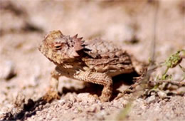 Phrynosoma solare - Regal Horned Lizard
