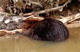 Castor canadensis - American Beaver Eating