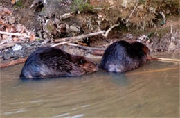 Castor canadensis - American Beavers Eating and Grooming