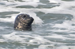 Harbor Seal - Phoca vitulina