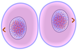Cytokinesis of Mitosis - Cell Division