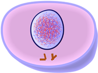 Interphase(G2) of Mitosis - Cell Division