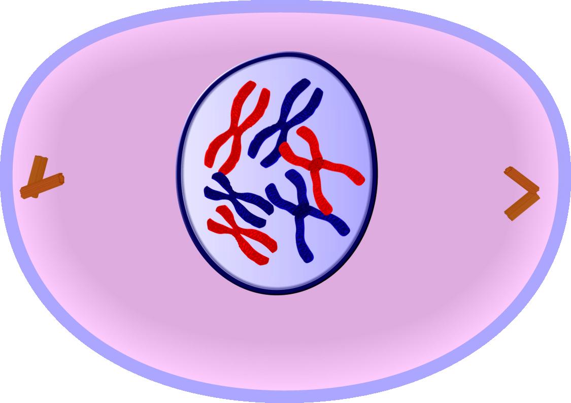 Mitosis  Wikipedia