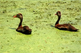 Dendrocygna autumnalis - Black-bellied Whistling Ducks