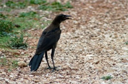 Quiscalus major - Boat-tailed Grackle