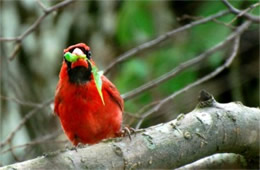 Cardinalis cardinalis - Male Cardinal with Caterpillar Prey