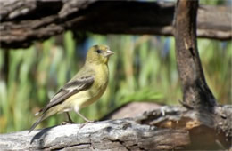 Spinus psaltria - Lesser Goldfinch (female)