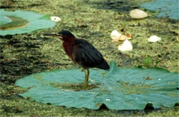Butorides virescens - Green Heron