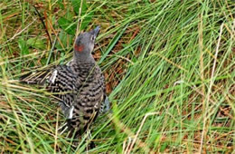Colaptes auratus - Juvenile Northern Flicker