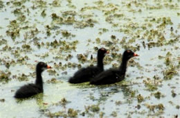 Gallinula chloropus - Common Moorhen Chicks