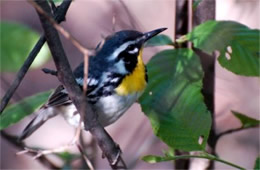 Dendroica dominica - Yellow-throated Warbler