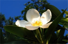 Gordonia lasianthus - Loblolly Bay Flower