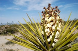 Yucca schidigera - Mohave Yucca