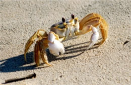 Ocypode quadrata - Atlantic Ghost Crab