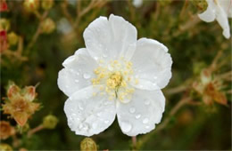 Apache Plume Flower with Rain Drops