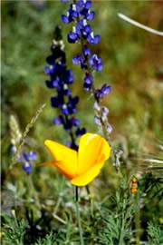 Eschscholtzia californica and Lupinus sparsiflorus - Mexican Poppy and Desert Lupine