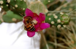 Cactus Bloom and Bee