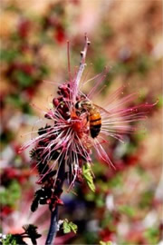 Calliandra eriophylla - Fairy Duster with Honey Bee