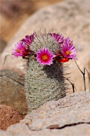 Mammilaria grahamii - Fishhook Pincushion Cactus