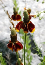 Ratibida columnaris - Mexican Hat