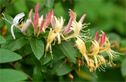 Lonicera periclymenum - European Honeysuckle
