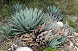New Mexico Agave